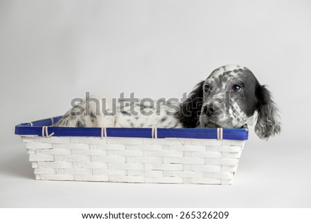 Sweet puppy dog relax in a wood basket, white background - stock photo