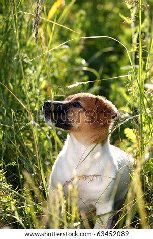 Sweet puppy Jack Russel walking in high grass - stock photo