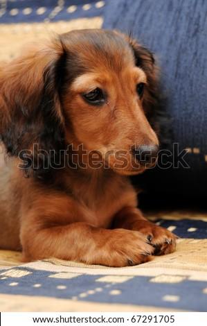 Sweet puppy of dachshund. Funny dog. - stock photo