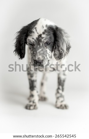 Sweet puppy of english setter in standing position, white background - stock photo