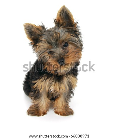 Sweet puppy Yorkshire Terrier in front on white background - stock photo