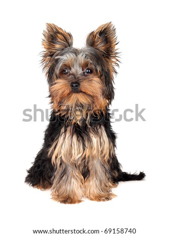Sweet puppy Yorkshire Terrier in front on white background , 5 month - stock photo