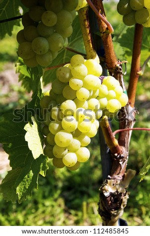 Sweet, ripe Grapes on a grapevine - stock photo
