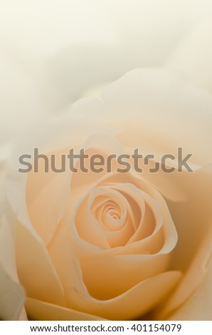 Sweet rose in pastel tone for the soft background - stock photo