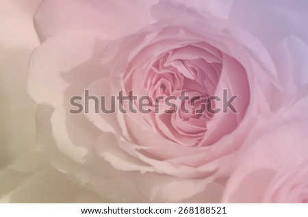 Sweet rose in pastel tone, Wedgwood rose, English rose, blur style for the background. - stock photo