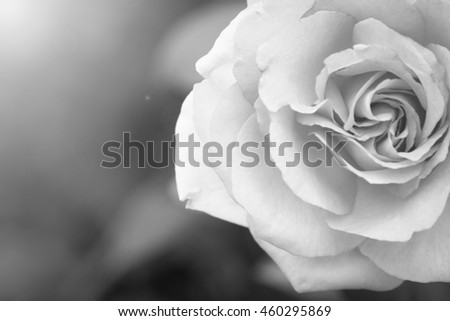 sweet roses on natural background