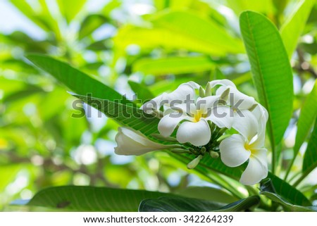 Sweet scent from white Plumeria flowers in the garden.(soft focus) - stock photo