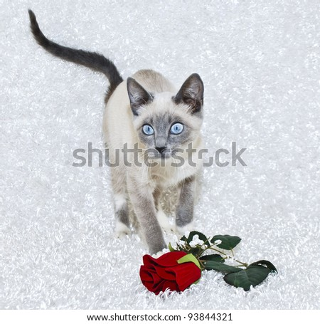 Sweet Siamese kitten with big blue eyes and a single red rose on a white background. - stock photo