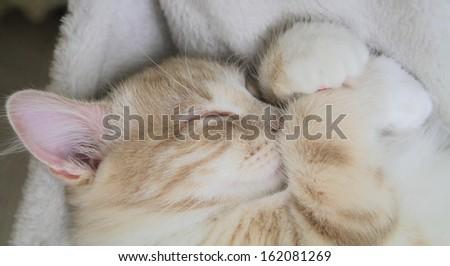 sweet sleeping for a siberian kitten - stock photo