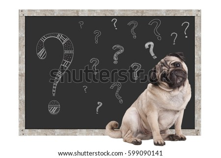 sweet smart pug puppy dog sitting in front of  blackboard with chalk question marks, isolated on white background