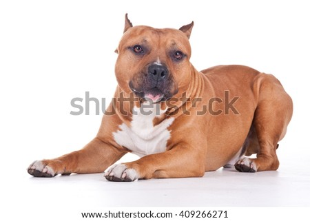 sweet  Staffordshire terrier
