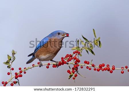 Sweet Taste for Mr. Bluebird - stock photo