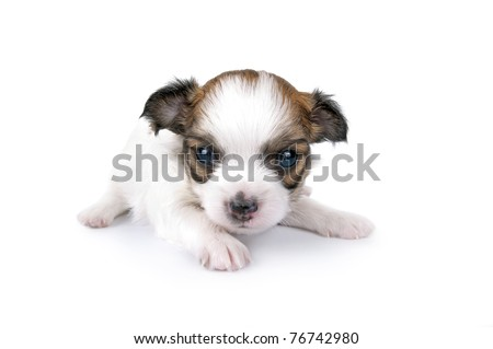sweet three weeks old Chihuahua puppy close-up on white background - stock photo