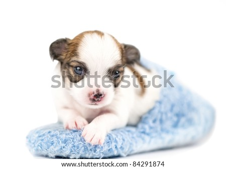 sweet three weeks old Chihuahua puppy in blue slipper close-up on white background (shallow focus)
