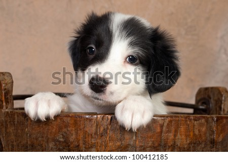 Sweet 5 weeks old border collie puppy in a vintage wooden bucket - stock photo
