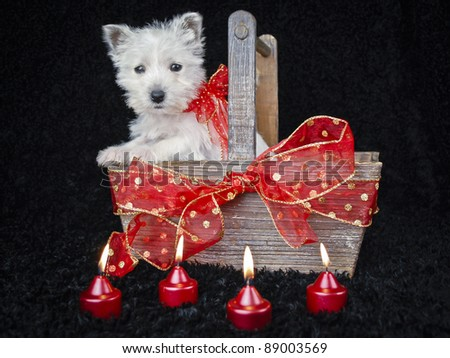 Sweet West Highland Terrier in a basket with Christmas decor, on a black background. - stock photo