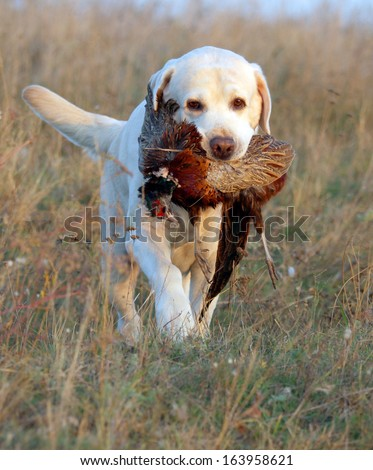 sweet yellow labrador puppy on the pale background in colour beads - stock photo