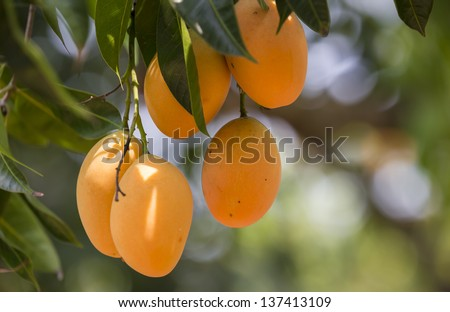 sweet yellow Marian plum ,Plum mango, thailand - stock photo