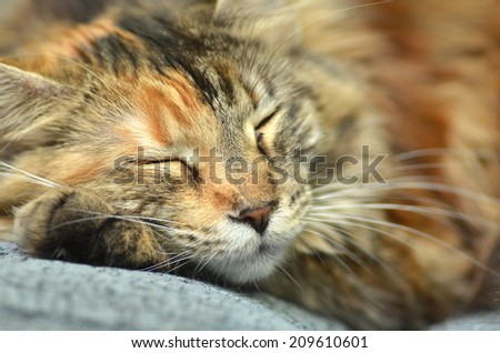 sweet young maine coon cat while sleeping - stock photo