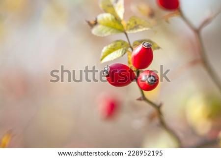 Sweetbriar Rose. Rosa rubiginosa Hips. Macro image. - stock photo