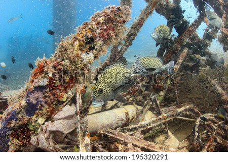 Sweetlips and glassfish on an underwater wreck - stock photo