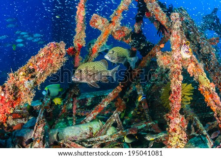 Sweetlips and other tropical fish school around manmade wreckage - stock photo