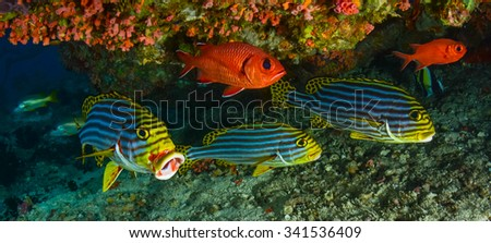Sweetlips and Soldier fish,under a reef. - stock photo