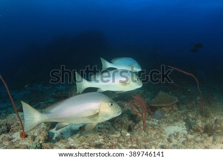 Sweetlips fish on coral reef - stock photo