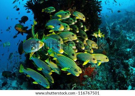 Sweetlips swim in formation on a coral reef in tropical Indonesia.