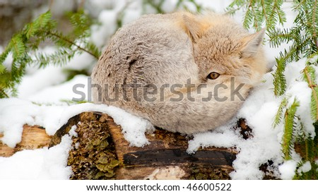 Swift fox (Vulpes Velox) resting in its natural habitat. Sleeping on snow with one eye open. - stock photo