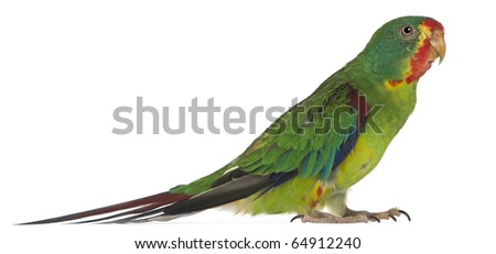 Swift Parrot, Lathamus discolor, 2 years old, standing in front of white background - stock photo