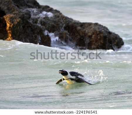 Swimming  African penguin (spheniscus demersus) in the water. South Africa - stock photo