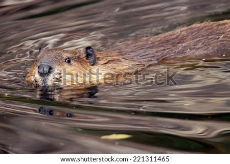 Swimming beaver, Castor canadensis, looking at camera - stock photo