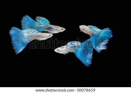 Swimming blue guppy, tropical fish pet - stock photo