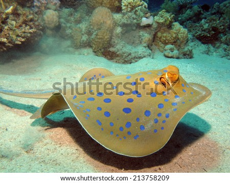 Swimming blue spotted stingray - stock photo