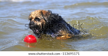 Swimming Border Terrier