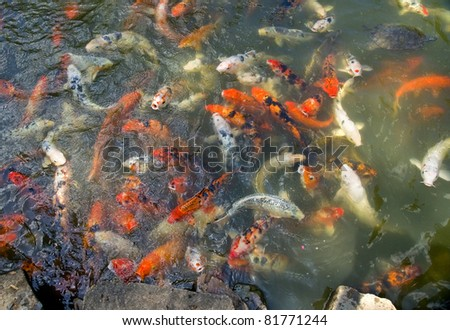 Swimming colorful koi in the calm water of the pond. - stock photo