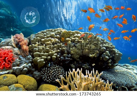 Swimming cuttlefish swimming over coral reef - stock photo