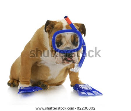 swimming dog - english bulldog wearing snorkeling mask and flippers - stock photo