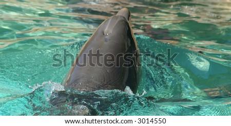Swimming Dolphin - stock photo