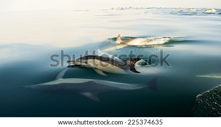 Swimming dolphins  ( common Dolphin \ Delphinus Capensis \ Delphinus delphis )in the ocean - stock photo