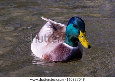 Swimming duck close-up - stock photo
