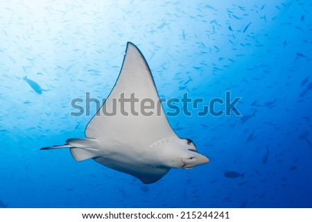 Swimming eagle ray in maldives indian ocean - stock photo