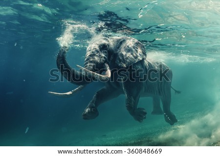 Swimming Elephant Underwater. African elephant in ocean with mirrors and ripples at water surface.