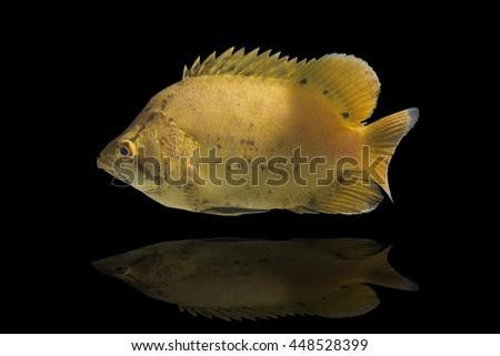 Swimming fish,jumping cod fish,baby fish on black background - stock photo