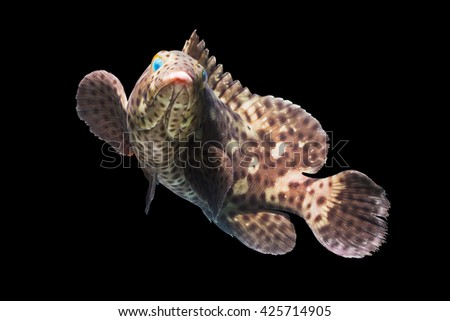 Swimming fish/tropical fish/prepared raw fish/fish on black/rock cod fish/grouper fish/saltwater fish/topic of fish/spotted fish/beautiful curve fish/giant fish species/popular fish in farming - stock photo