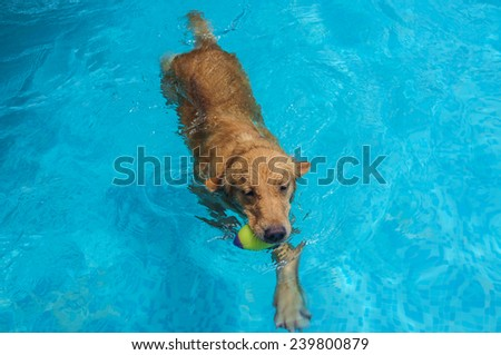 swimming golden retriever in the pool - stock photo