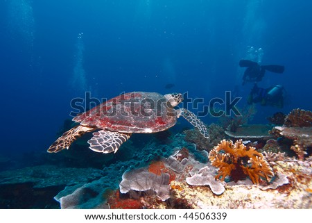 Swimming green turtle (Chelonia mydas) and diver, Gili Lawa, N of Komodo, Indonesia