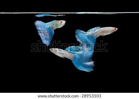 Swimming guppy - stock photo