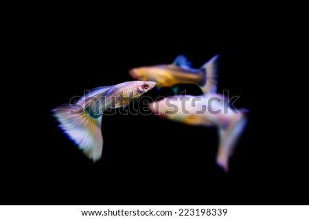 Swimming guppy tropical fish pet - stock photo